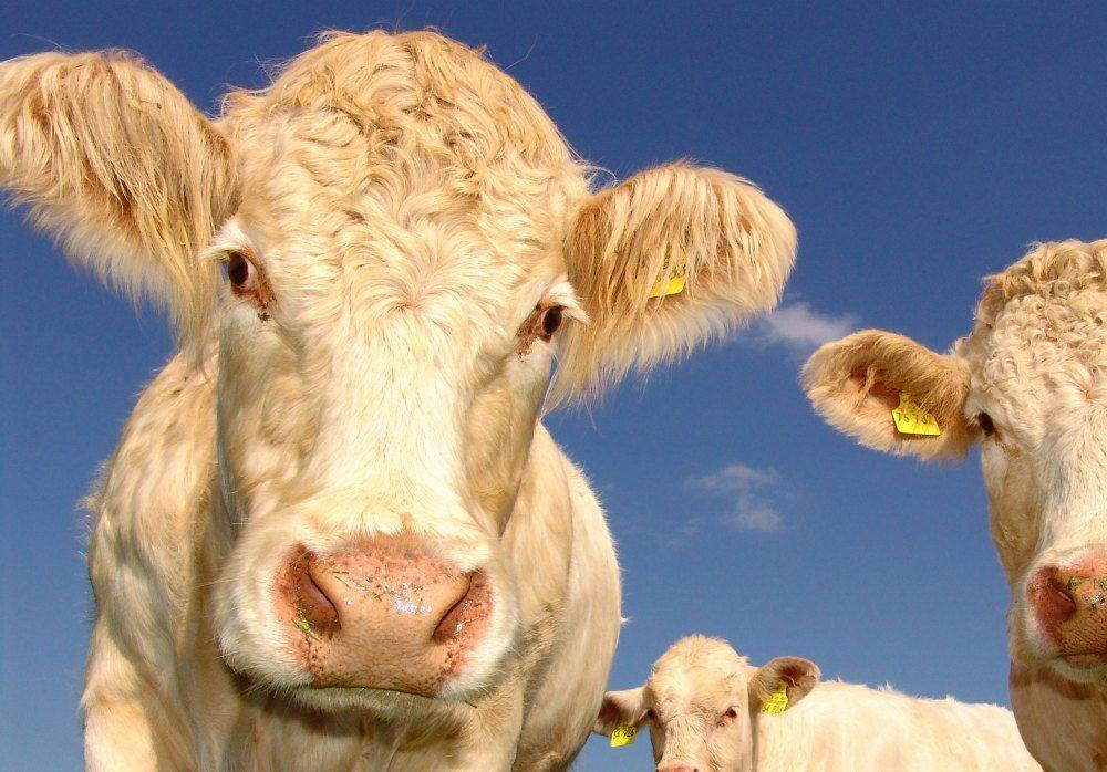 pestañas-vaca-extensiones